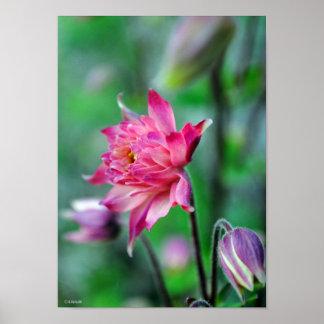 Columbine en el poster de Framable de la floración