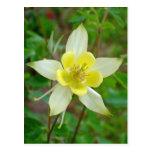 Columbine Flower in Yellow Postcard