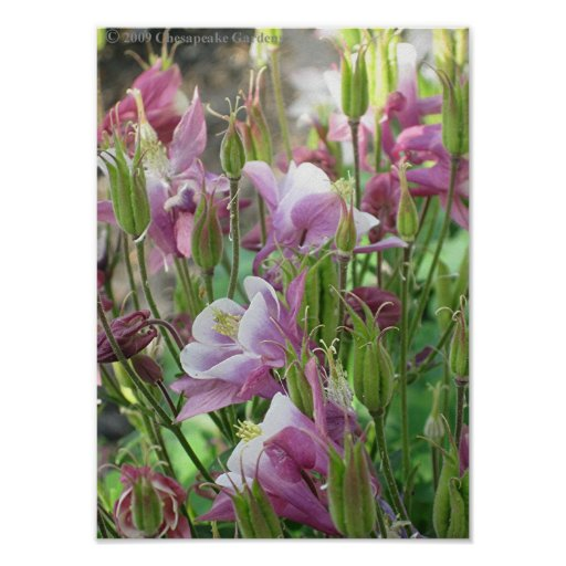 COLUMBINE FLOWERS poster