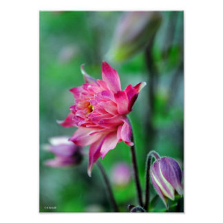 Columbine in Bloom Framable Poster
