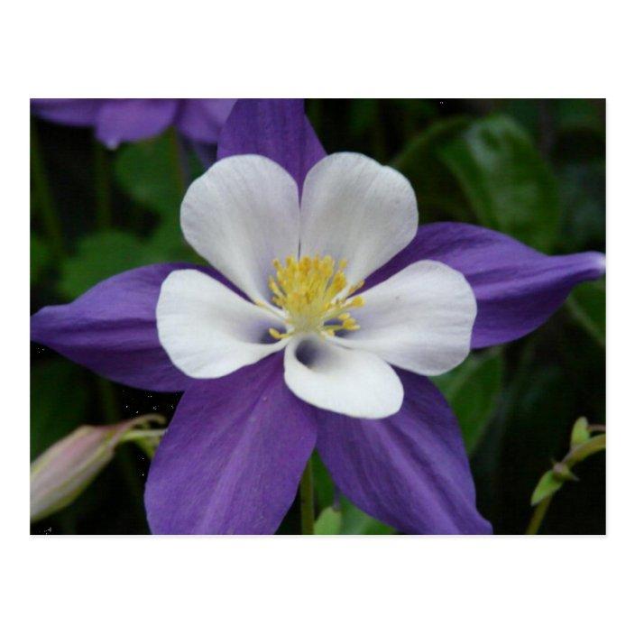 Columbine Purple And White Flower Postcard Zazzle Com