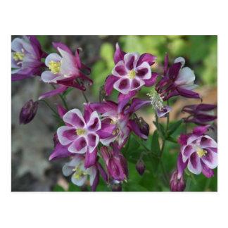 Columbine púrpura bonito tarjetas postales