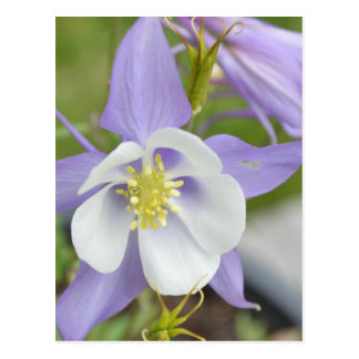 Columbine púrpura tarjeta postal