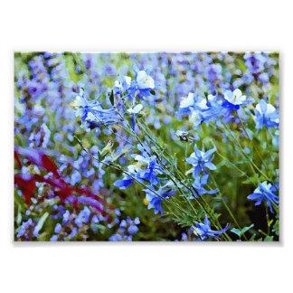Columbines azul - flores impresiones fotográficas