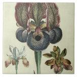 Comandante del susiana del iris y angustifolia del azulejo