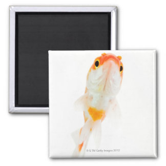 Comet / Comet-tailed goldfish 2 Inch Square Magnet