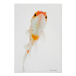 Comet / Comet-tailed goldfish Poster