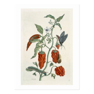 Comfrey, from 'A Curious Herbal', 1782 (colour eng Postcard
