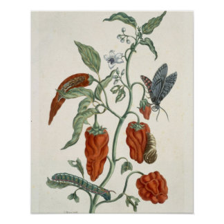 Comfrey, from 'A Curious Herbal', 1782 (colour eng Poster