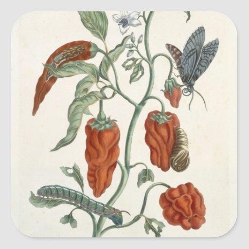 Comfrey, from 'A Curious Herbal', 1782 (colour eng Square Sticker