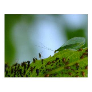 Comida fría del áfido del Lacewing verde Postal
