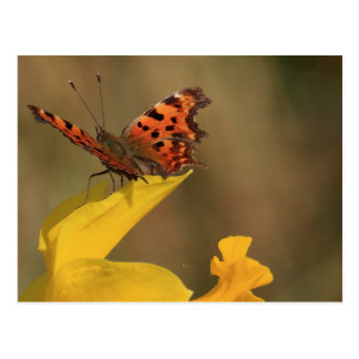 Comma Butterfly and Daffodil Post Cards