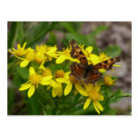 Comma Butterfly in Glacier National Park Postcard