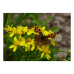Comma Butterfly in Glacier National Park Poster