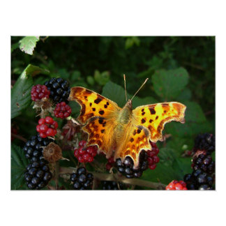 comma butterfly on blackberries poster
