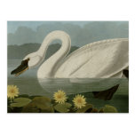 Common American Swan Post Card