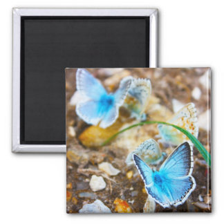 Common Blue Butterfly - Polyommatus icarus on Marj 2 Inch Square Magnet