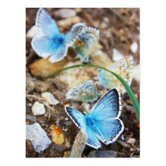 Common Blue Butterfly - Polyommatus icarus on Marj Postcard