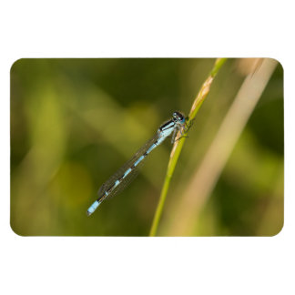 Common Blue Damselfly Magnet