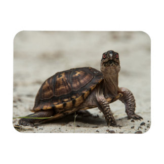 Common box turtle magnet
