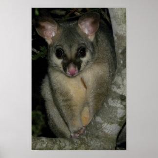 Common Brushtail Possum (Trichosurus vulpecula) Poster