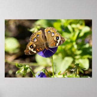 Common Buckeye Butterfly in Garden Poster