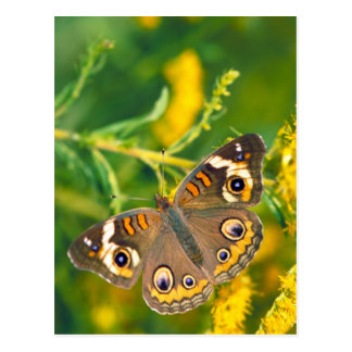 Common Buckeye Butterfly on Goldenrod Postcard