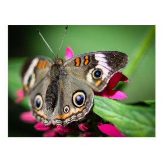Common Buckeye Junonia Coenia Postcard