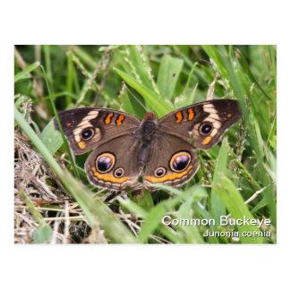 Common Buckeye Postcard