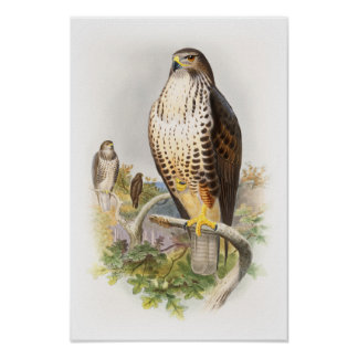 Common Buzzard John Gould Birds of Great Britain Poster