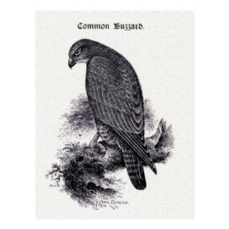 """Common Buzzard"" Vintage Illustration Postcard"