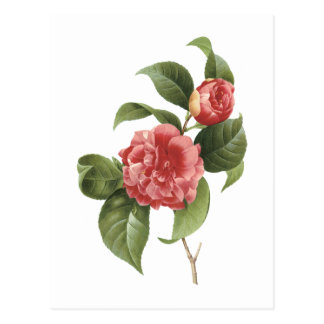 common camellia(Camellia japonica) by Redouté Postcard