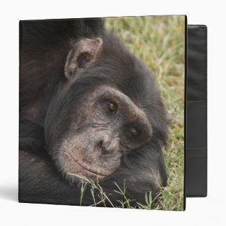 Common Chimpanzee posing resting 3 Ring Binder