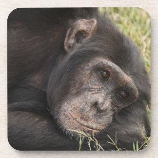 Common Chimpanzee posing resting Beverage Coaster