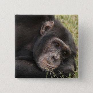 Common Chimpanzee posing resting Button