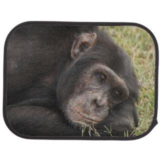 Common Chimpanzee posing resting Car Floor Mat