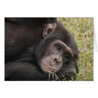Common Chimpanzee posing resting Card