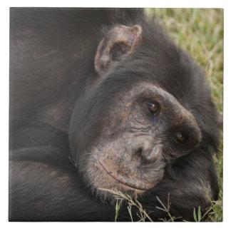 Common Chimpanzee posing resting Ceramic Tile