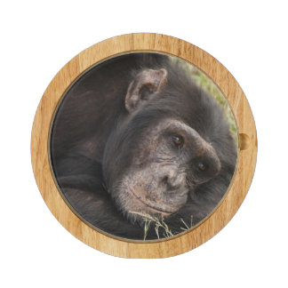Common Chimpanzee posing resting Cheese Board