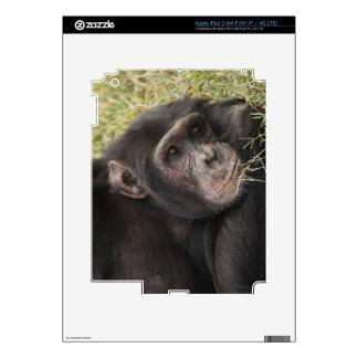 Common Chimpanzee posing resting Decals For iPad 3