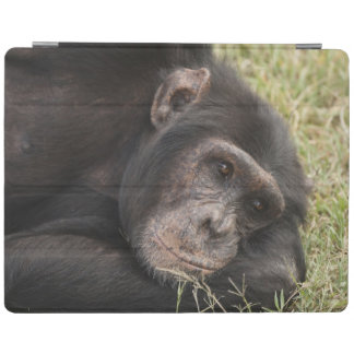 Common Chimpanzee posing resting iPad Smart Cover