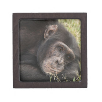 Common Chimpanzee posing resting Keepsake Box