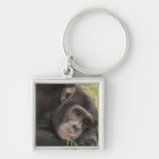 Common Chimpanzee posing resting Keychain