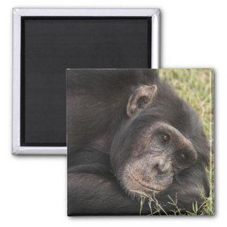 Common Chimpanzee posing resting Magnet