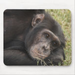 Common Chimpanzee posing resting Mouse Pad