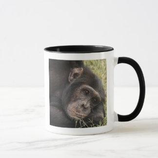 Common Chimpanzee posing resting Mug