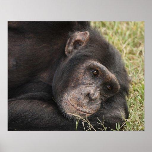 Common Chimpanzee posing resting Poster
