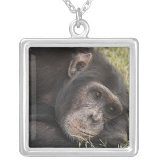 Common Chimpanzee posing resting Silver Plated Necklace