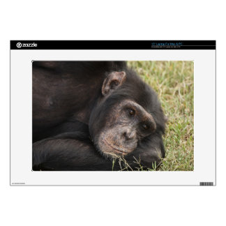 "Common Chimpanzee posing resting Skin For 15"" Laptop"