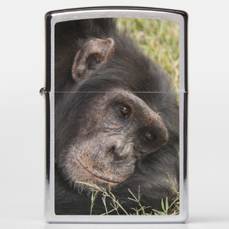 Common Chimpanzee posing resting Zippo Lighter